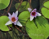 Water Lily Flower photography- Zen wall art. Green Purple Home Decor Water Lily Prints. Zen Art Floral Wall Art Nature art  8x10, 5x7 matted