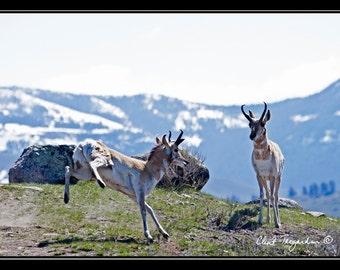Pronghorn Photograph,Wildlife Photography