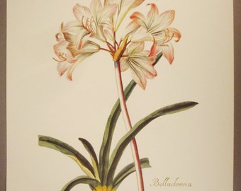Botanical Print BELLADONNA Lilio  NARCISSUS  Offset print Italy Copy antique thick paper 20 x 14 excellent condition  colorful aprox. 12 x 9
