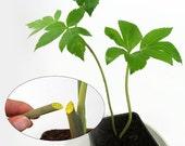 Ashitaba Tomorrows Leaf (Angelica keiskei koidzumi)