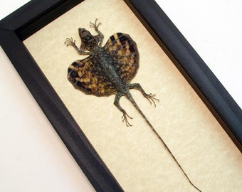 Real Framed Draco Sp-Tortoise Shell Flying Lizard Shadowbox Display R1301