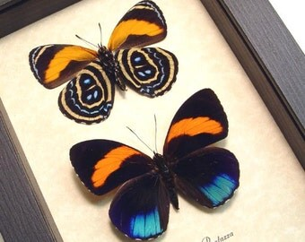 Real Framed Callicore Pastazza Butterfly Set Shadowbox Display 8236