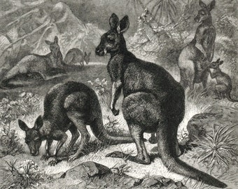 1885 Antique Engraving of Kangaroo