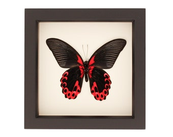 Butterfly Gift Taxidermy Papilio rumanzovia Display Scarlet Mormon