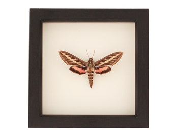 Framed Moth Sphinx Hummingbird Display