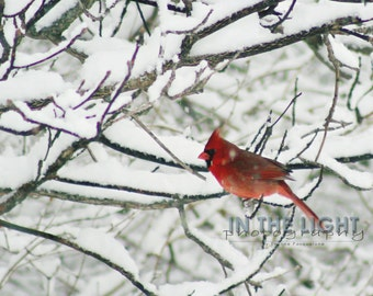 READY TO SHIP - Cardinal in Snow #7 - fine art photography