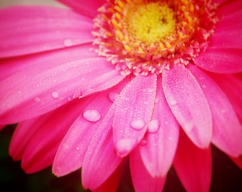 Pink Daisy - Water Droplets - Nature - Fine Art Photograph by Kelly Warren