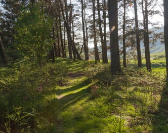Magic Light Fine Art Photography Scottish landscape Sunlight Woodland Forest Path Trees Moss Outlander inspired Scotland Pines flair shadows