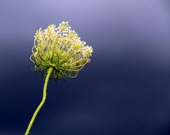 Queen Anne's Lace, Summer, Stormy Sky, Nature Photography, Flower Decor, 11X14 Mat, Fine Art, Wall Hanging, Ready to Frame