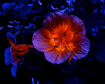 Fire Flower Surreal Burning Violet Purple Blue Glowing Orange Center Black Moonlight Garden Dark Romance Dreamlike Photography Photo Print