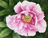 pink tree peony  watercolor archival print