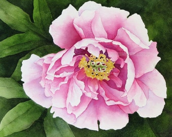 pink tree peony  watercolor archival print
