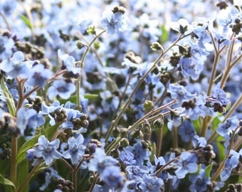 Firmament, Chinese Forget Me Not Seeds   Darling Old Fashioned Flower from 1939