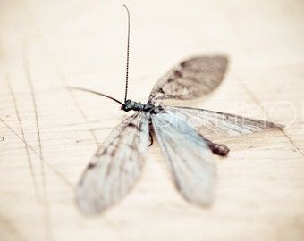 Nature insect Photography male dobson fly wings antennae insect macro clear teal summer Corydalus cornutus - Winged wonder - fine art photo