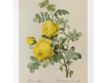 Yellow Rose Redoute Print Botanical Book Plate SALE~~Buy 3, get 1 Free Book Plates
