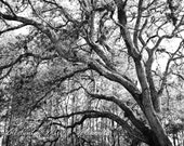 Sleepy Hollow black and white fine art photography nature tree photography home decor wall art by Melinda Marie Alexander 8 x 10 Print