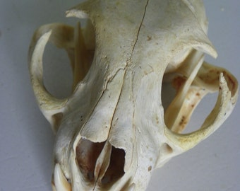 Cruelty Free - No. A4 - Hike Find - Bobcat Skull - Coon Educational Taxidermy Animal Specimen Bone Skulls Death USA Natural Curio