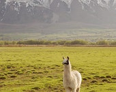 Color llama Photograph, Vertical animal art, mountain landscape photography