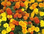 Organic Marigold Flower Seeds Mixed Colors Doubles Singles 2014 all Natural