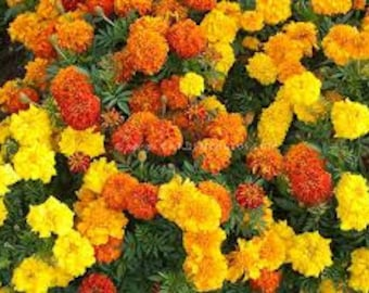BOGO SALE! Organic Marigold Flower Seeds Mixed Colors Doubles Singles 2017 All Natural