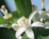 ORANGE BLOSSOMS - 4oz - UniSex Cologne - Floral Fragrance Family - White Floral, Floral, Sweet, Green