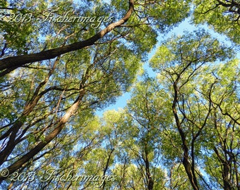 Looking Up Through the Trees Blue Sky Abstract Nature Wall Art Home Decor Photo Print Fine Art Photography
