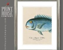Le Rasoir Bleu, vintage fish illustration, 8x10 sea-life print, enhanced with metallic pigments.