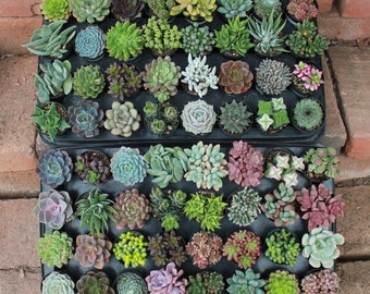 """5 AMAZING UNIQUE Assorted Succulents in their 2.5"""" round  containers Ideal for Wedding FAVORS party gifts Echeverias+"""