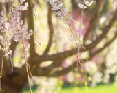 Spring Weeping Cherry Tree Nature Botanical  - 11 x 14 art photography print by Dawn Smith