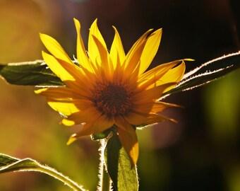 Sunflower Photograph Autumn,Floral,Fall,Orange,yellow,vibrant colors,sunset,eggplant,glowing,sunflower lovers decor,bright,sunny,sun flower,