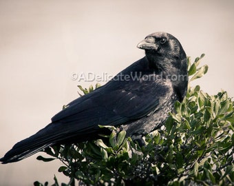 Black Crow Raven Print - Gothic Crow Photo, Halloween Crow Photography