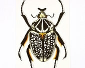Ornate Goliath Beetle - Original Watercolor and ink painting