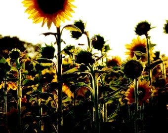Sunflowers at Sunset Digitally Enhanced Picture Card