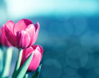 Flower photography tulip wall art floral 8x10 fine art photography botanical print spring photography pink art print magenta bedroom decor