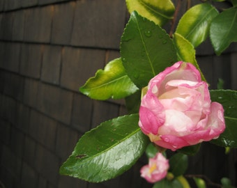 Pink Camellia  digital download Macro Photography