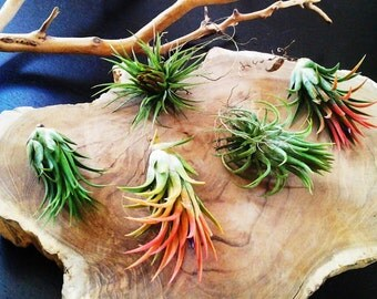 5 Air plants - FREE MOSS - Wholesale Tillandsia - diy projects - terrariums - crafts - supplies - Wedding favors - Gifts