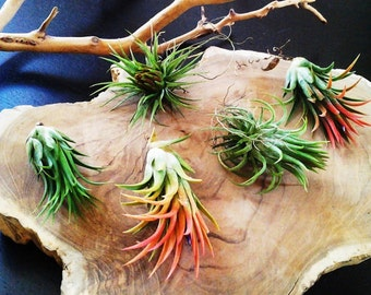 5 Air plants - Tillandsia - diy projects - terrariums - crafts - supplies - Wedding favors - Valentines day Gifts