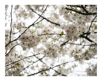 White Blossoms 2, Photo Print