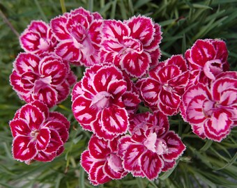 Heirloom 400 Seeds Dianthus Barbatus Carnation Sweet William Heirloom Mix Flower Seed S045