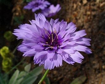 Heirloom 300 Seeds Catananche caerulea Cerverina Blue Succory Cupids Dart Flower Bulk Seeds S115