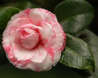 Heirloom 10 Seeds Camellia japonica Japanese camellia Tea Flower Rose of winter Mix T040
