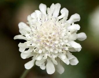 Heirloom 200 Seeds Scabiosa africana Pincushion Mourning-bride White Flower Bulk Seeds B0126