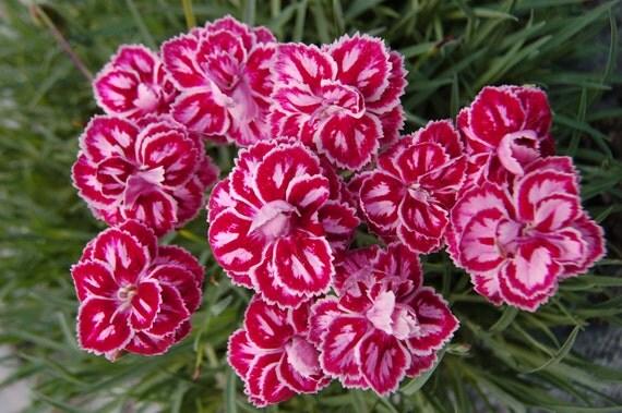 Heirloom 400 Seeds Dianthus Barbatus Carnation Sweet William Heirloom Mix Flower Seed S045