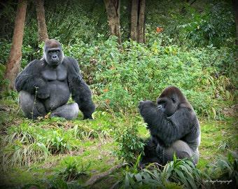 Silverback Gorillas / Gorilla Print / Gorilla Picture / Disney Attraction / Free US Shipping / MVMayoPhotography