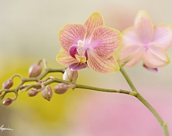 Miniature Orchid PRINT and CANVAS gallery wrap Flower wall decor artwork Picture Photo Dwarf pink Room Home pastel still life Gift for her