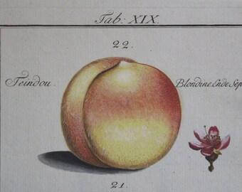 Stunningly Beautiful Hand Colored Antique Print 1779 Adam Wolfgang Winterschmidt-Pomona Franconica-Peach