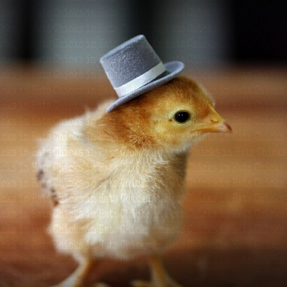 Chicks in Hats Baby Chick in Jaunty Top Hat Postcards (4) SALE