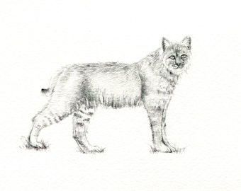 "Bobcat art print of an original drawing available 5x7"" or 8x10"""
