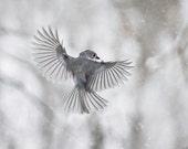 Bird photography: The Art of Staying Aloft No. 7 Tufted Titmouse (Baeolophus bicolor)
