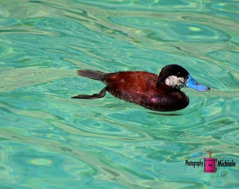 North American Ruddy Duck II (FREE SHIPPING in the U.S.only)--customized card, print or canvas